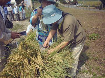 石包丁で稲の穂づみ体験